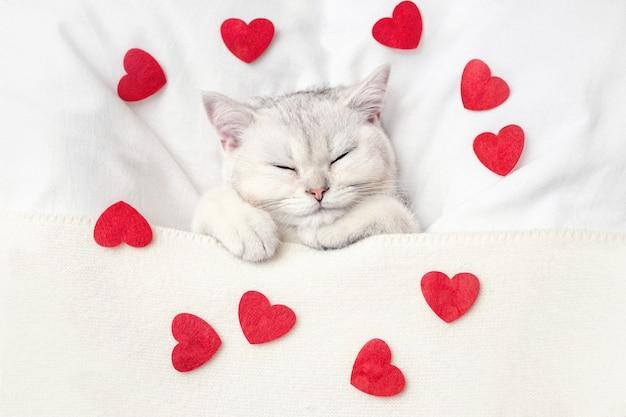 かわいい白い子猫は、赤いハートが散らばっているニットの毛布の下の白いベッドで寝ています