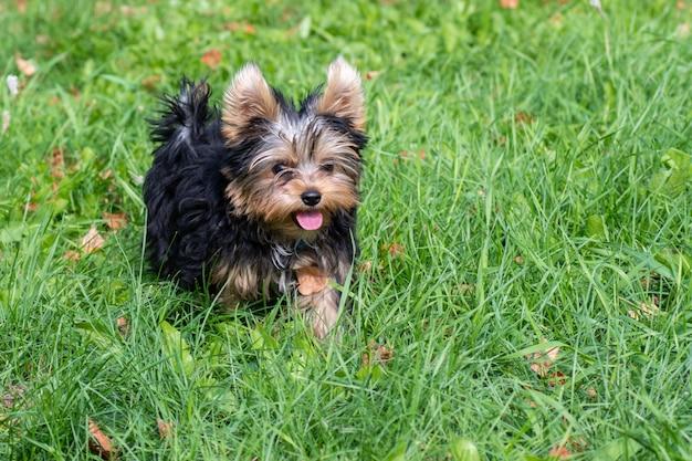 Милый щенок йоркширского терьера играет во дворе, бегает по зеленой траве. портрет собаки на природе. можно использовать как открытку, иллюстрацию, фон.