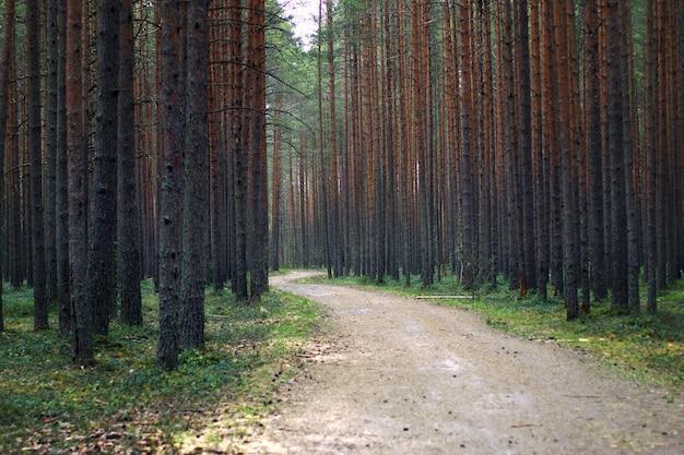 松林の中を散歩するためのサイクリングとウォーキングの小道、両側に大きな松の幹がたくさんあります。