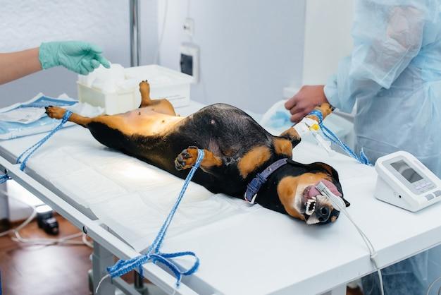 Собака такса готовится к операции в ветеринарной клинике