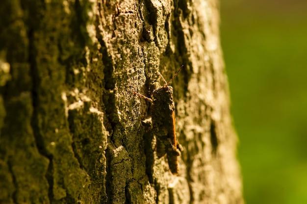 나무 껍질에 짙은 회색 메뚜기 위장