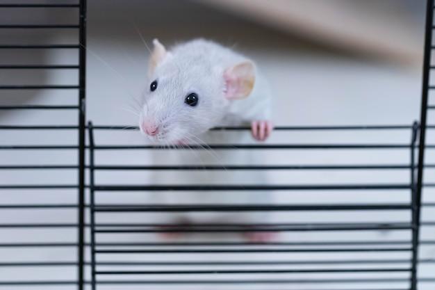 Из клетки выглядывает декоративная серая крыса.