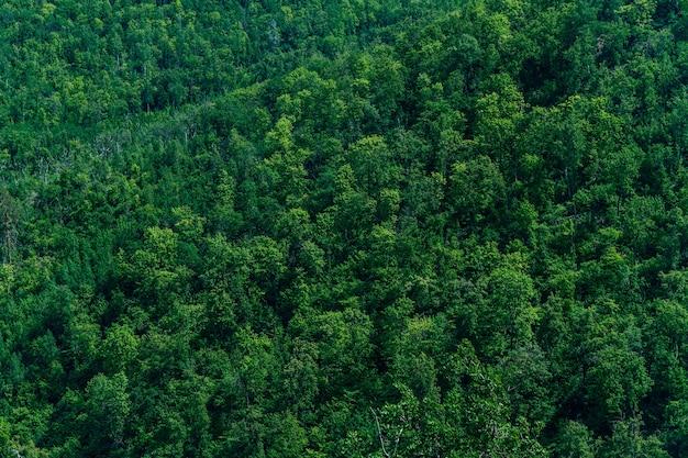Густой лес из зеленых деревьев елей и сосен