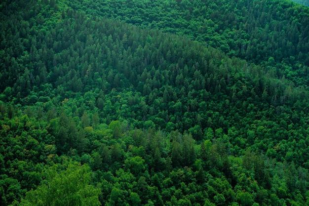 Густой лес из зеленых деревьев елей и сосен Premium Фотографии