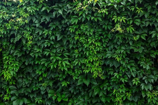 緑のブドウの葉の密な生け垣。テキスト用のスペース。バックグラウンド。