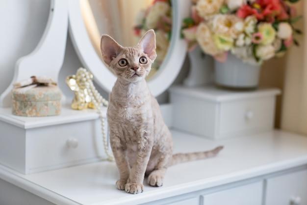 部屋のドレッシングテーブルに座っているデボンレックスの子猫