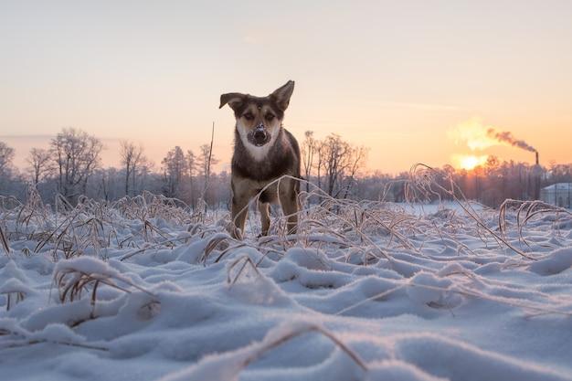 晴れた冬の日の夜明けにツァルスコエセロの雪に覆われた公園で凍った草の中の犬