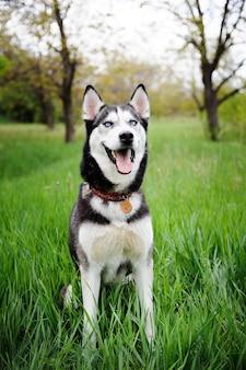 公園を歩く犬ハスキー。