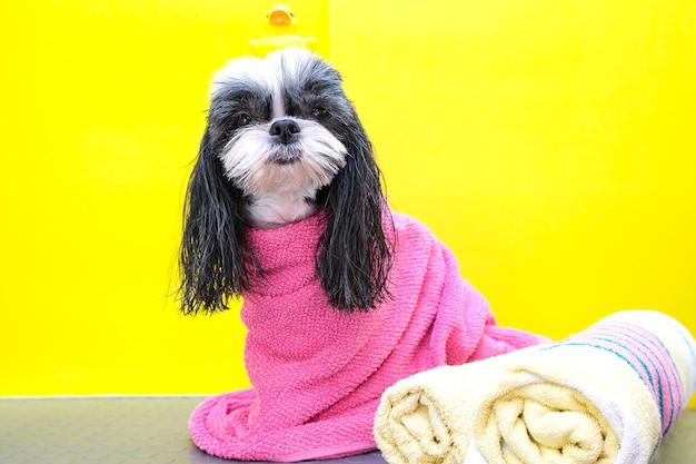 Собака в груминг-салоне; собаку после душа, завернутую в полотенце. животное получает косметические процедуры в салоне красоты для собак. утка по голове. желтый фон