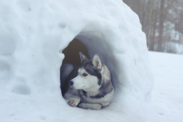 허스키 품종의 개는 에스키모가 이글루라고 부르는 눈의 집 입구에 있습니다.