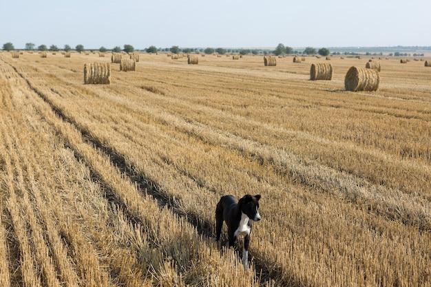 개는 수확 후 밀밭에 서 있습니다. 큰 둥근 짚 뭉치.