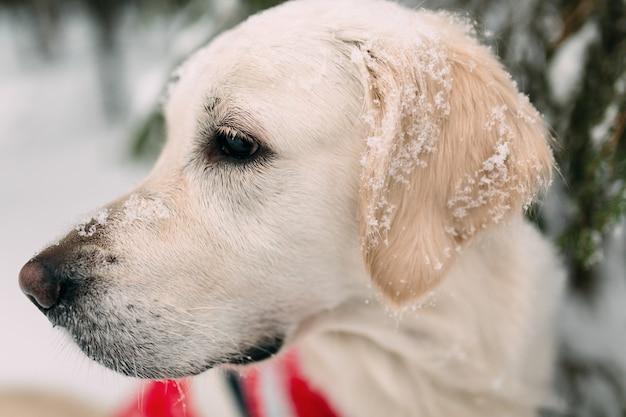 Собака со снегом на носу и ушах сидит в заснеженном лесу под деревом