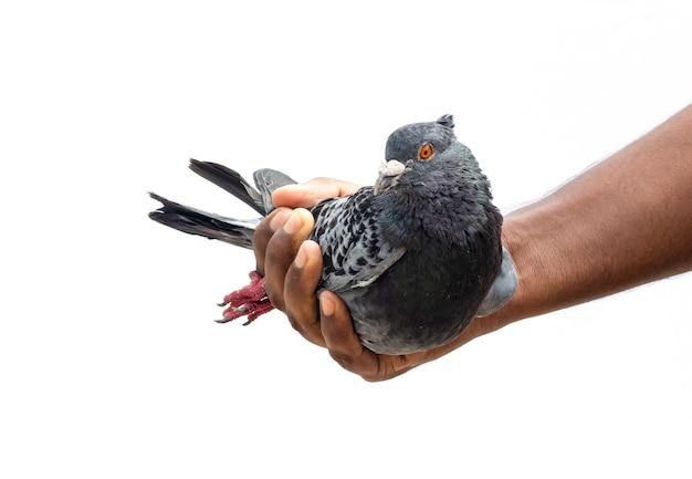 남성 손에 국내 검은 경주 비둘기는 격리 된 흰색 배경에 닫습니다