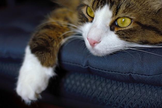 Домашняя кошка лежит на стуле и грустно смотрит вдаль. крупный план.