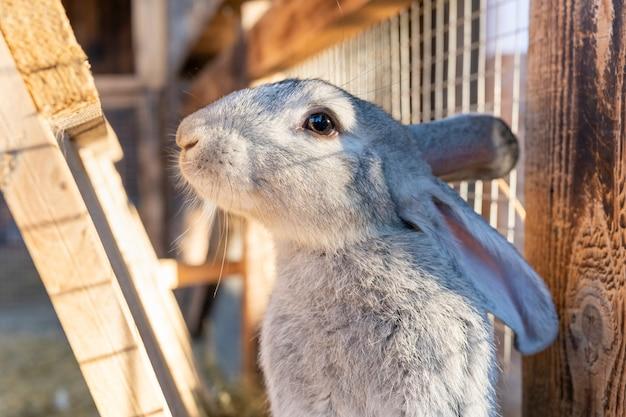 国内のふわふわの灰色のウサギは、耳を押し込んでカメラを怖がらせます。村のペット。国内のウサギのお手入れ。イースターのウサギ。