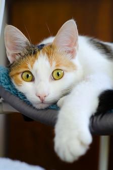 Домашний трехцветный кот лежит на стуле. смотрю на хозяина. любимый питомец. вертикальное фото.