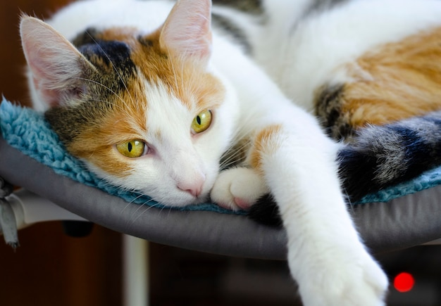Домашний трехцветный кот лежит на стуле. смотрю на хозяина. любимый питомец.