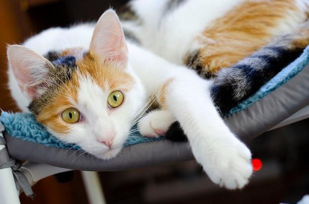 Домашний трехцветный кот лежит на стуле