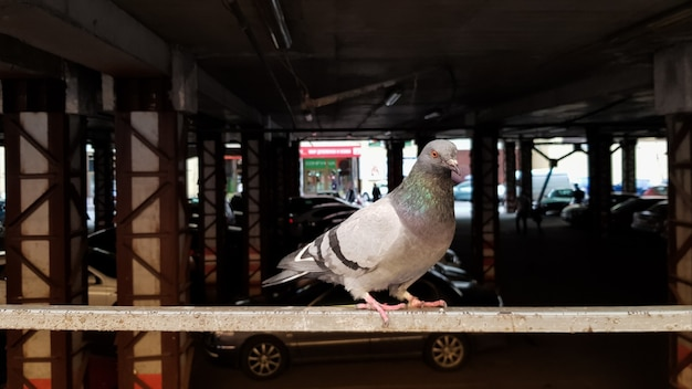 Голубь сидит на заборе на стоянке. также называется городскими голубями, городскими голубями или уличными голубями. дикая птица на стоянке размытым фоном.