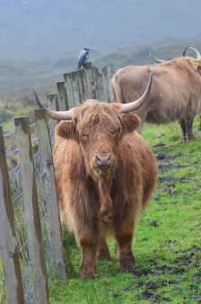 ハイランド牛が柵のそばに立っている、悲惨なスコットランドの日。