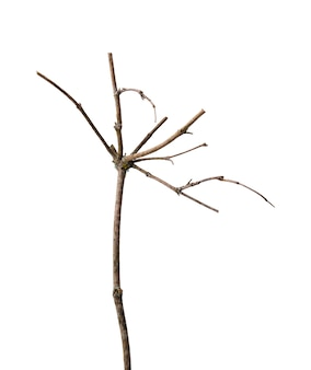 傘に似た形で、きれいな白い背景に分離された、上部に多くの枝がある乾いた枝。