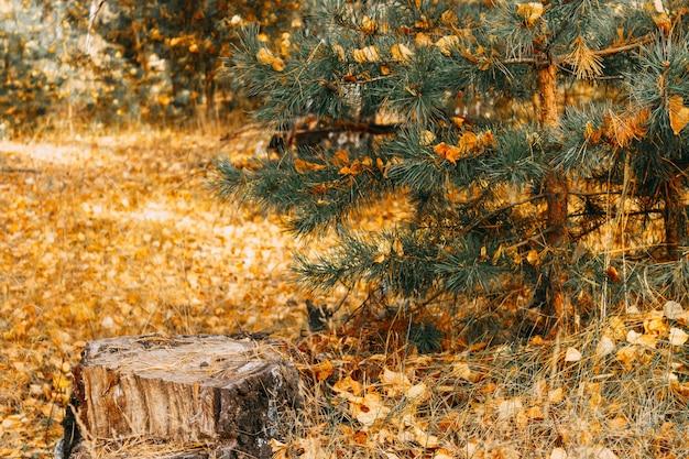마른 그루터기는 숲의 가을에 어린 소나무 근처에 서 있습니다.