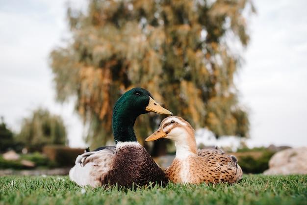 Утка и селезень сидят на зеленой траве на фоне желтого дерева