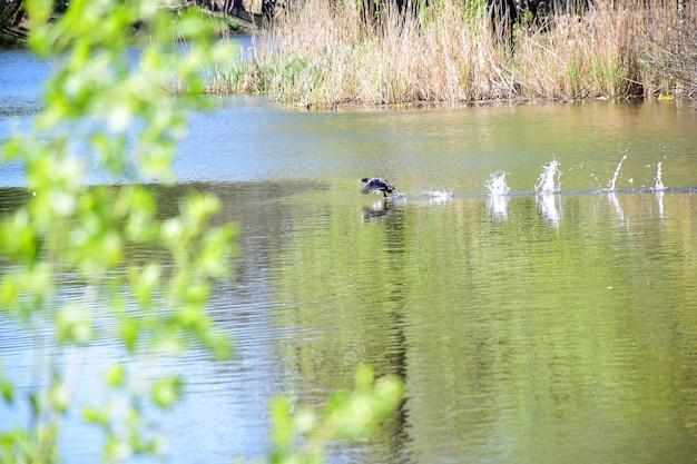 오리는 날개를 퍼덕이며 호수 수면에서 날아갑니다. 배경의 일부가 흐려짐