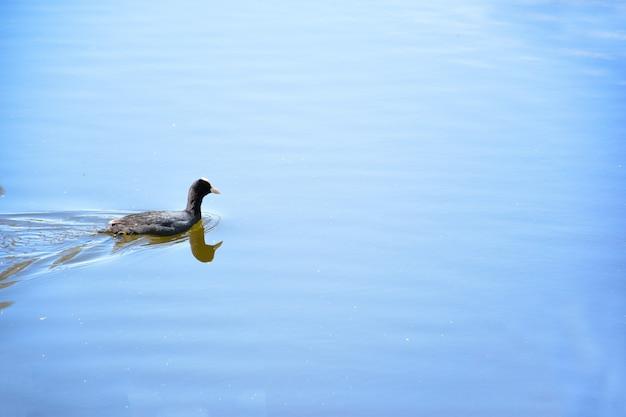 오리는 호수나 강의 잔잔한 수면에 떠 있습니다. 프레임의 오른쪽이 비어 있습니다.