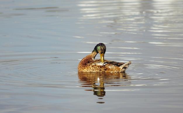 池のアヒルが羽をきれいにする