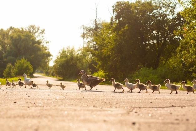 Утка ведет утят через дорогу. мать утка с маленькими утятами.