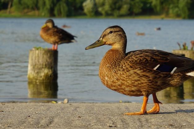 公園の湖の近くを歩いているアヒル