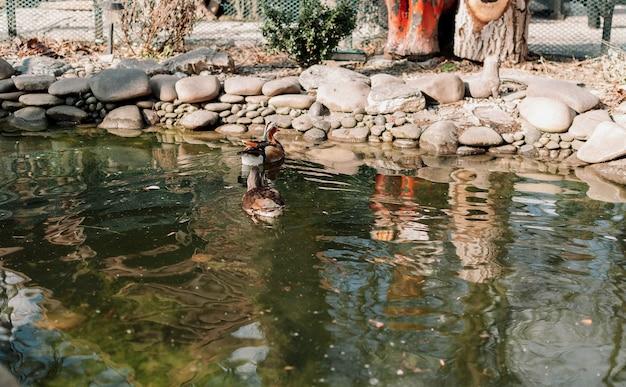 緑の頭と羽を持つアヒルが穏やかな湖で泳ぎます。水鳥のための動物園の特別な池。