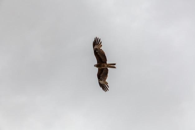 Сокол летит в небе в поисках добычи над монгольскими горами алтая.
