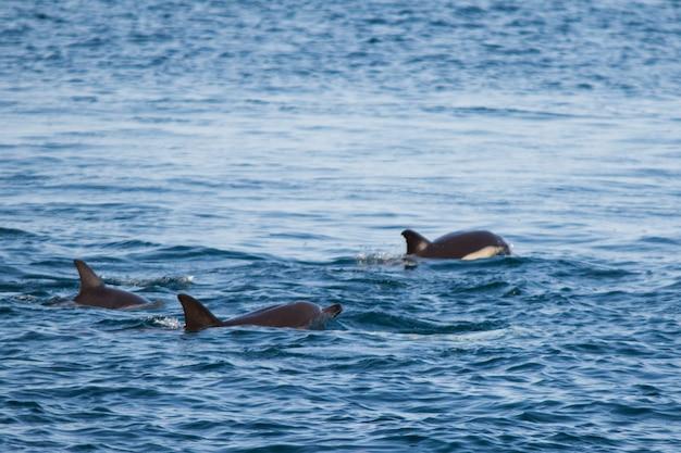 イルカの家族が黒海で泳ぐ