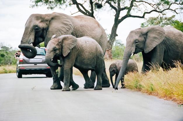Семья слонов, переходящих дорогу в национальном парке крюгера в мпумаланге, южная африка, идет между автомобилями с туристами.