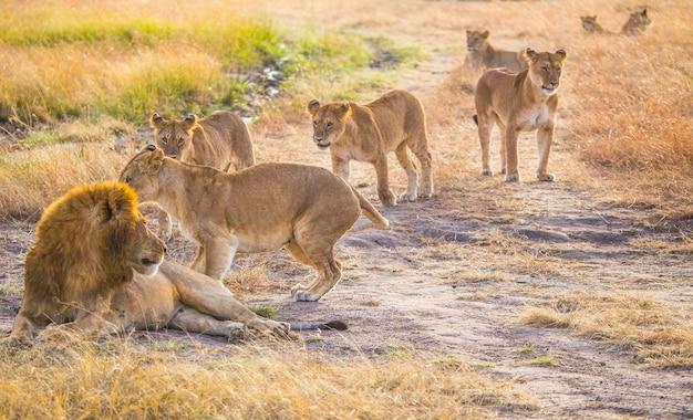Семья львов и великий отец-лев в национальном парке масаи-мара, дикие животные в саванне. кения, африка
