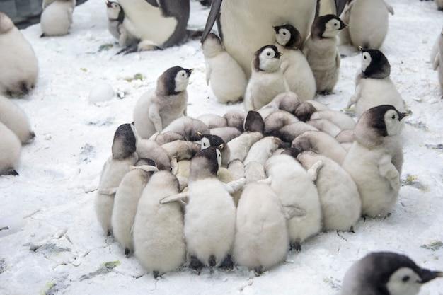 아기 펭귄의 큰 무리를 가진 펭귄 가족