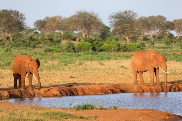 サバンナの真ん中にある水場で赤い象の家族