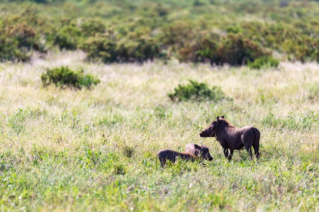 Семья бородавочников в траве кенийской саванны