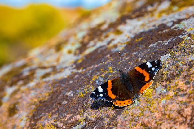 카르파티아 산맥의 가을 자연의 노란색 배경에 있는 환상적으로 아름다운 나비는 특이한 패턴의 돌 위에 앉아 있다