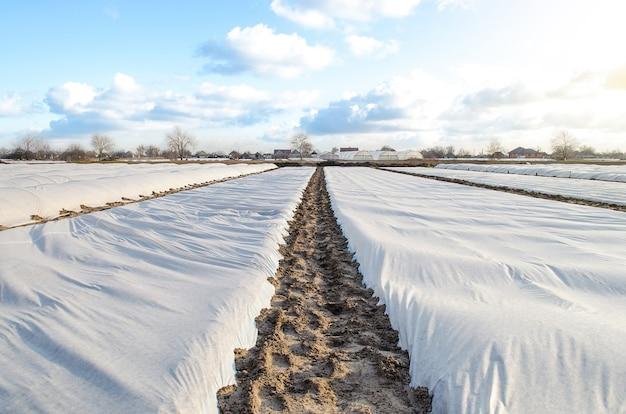 어린 감자 덤불을 보호하기 위해 흰색 스펀본드 스펀레이드 부직포로 덮인 농장 필드