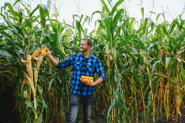농부는 수확하기 전에 키 큰 옥수수 작물을 확인합니다. 현장의 농학자