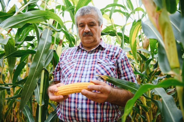 Фермер проверяет высокий урожай кукурузы перед сбором урожая. агроном в поле