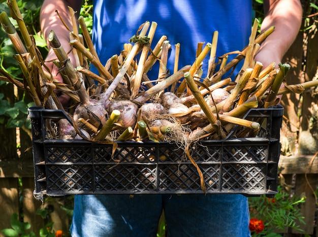 ニンニクの収穫が入ったバスケットを持っている農夫