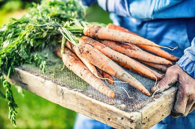 Фермер держит в руках свеже созревшую морковь в саду.