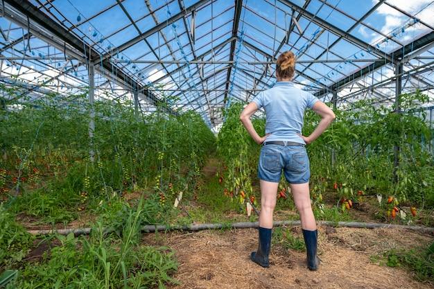 農民は有機農場の温室でトマトの作物を検査します