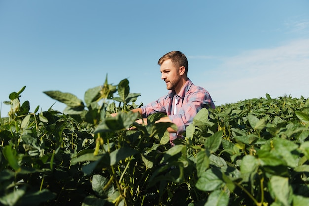 Фермер осматривает поле зеленой сои. концепция урожая
