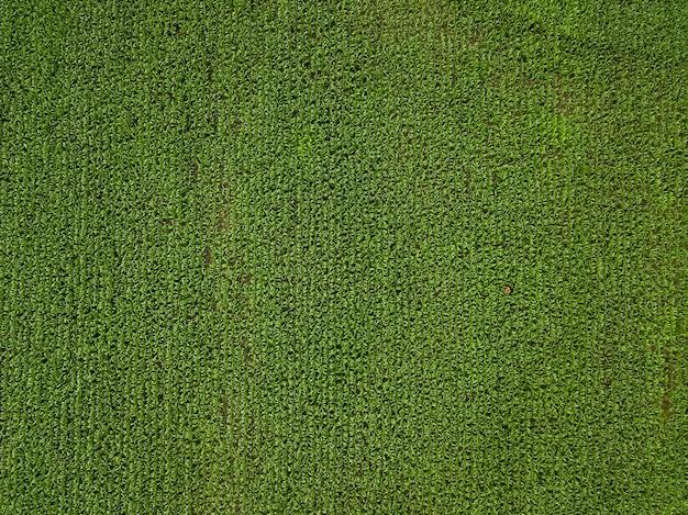 農夫はトウモロコシの広い緑のフィールドを検査します。上面図。農業産業