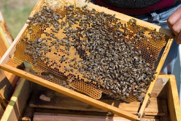 양봉장에 있는 농부는 밀랍 벌집이 있는 틀을 들고 있습니다. 꿀 수집을 위한 계획된 준비.